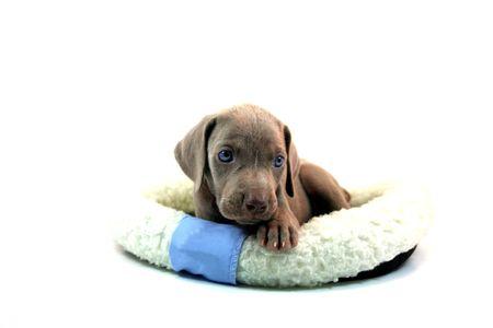 Weimaraner Pup Stock Photo