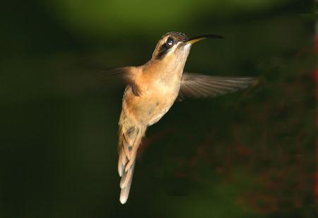 Little hertmit Hummingbird