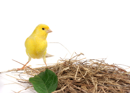 Yellow Canary Stock Photo - 1535661