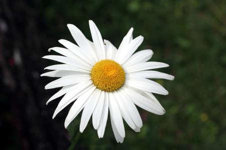 Single Daisy Stock Photo - 2024612