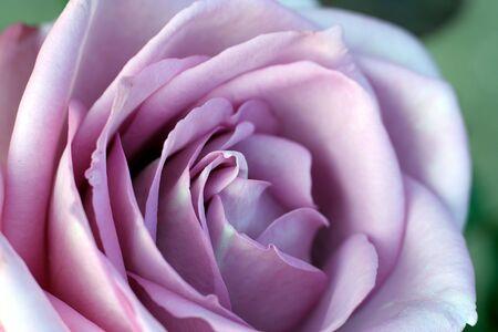 Purple Rose Stock Photo - 2024621