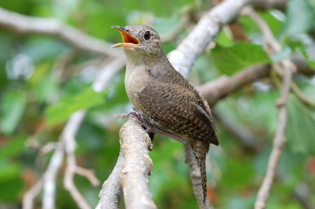 Singing House Wren Stock Photo - 3068421