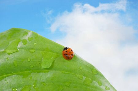 Ladybug on a leaf against blue sky photo