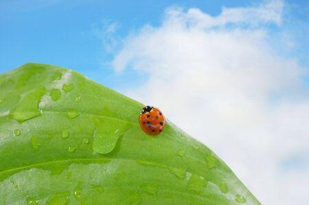 Ladybug on a leaf against blue sky photo
