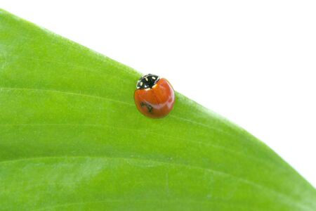 Ladybug on a leaf photo