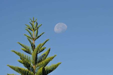 Pine tree and moon during the day hours photo