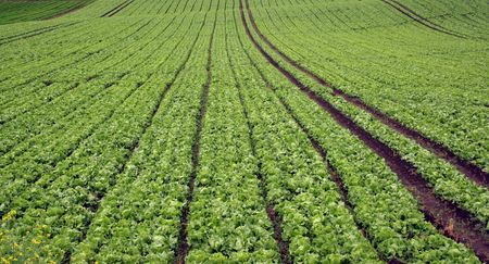 planted: Planted lettuce  field