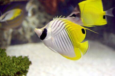 Beautiful angel fish swimming in an aquarium photo