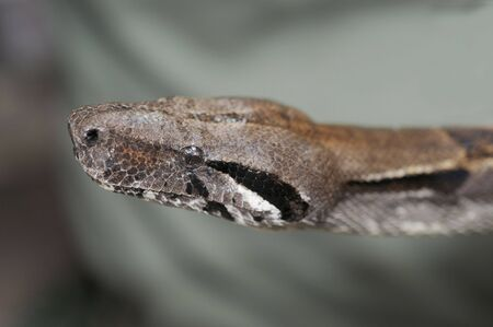 snake head: Macro shot of a boa constrictor  snake head
