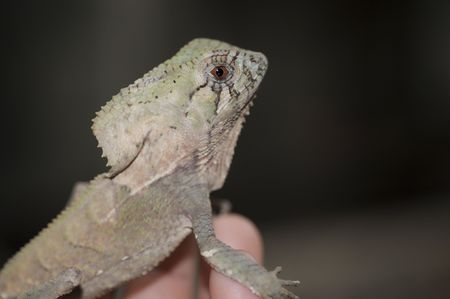 Cameleon being hold by a human hand photo