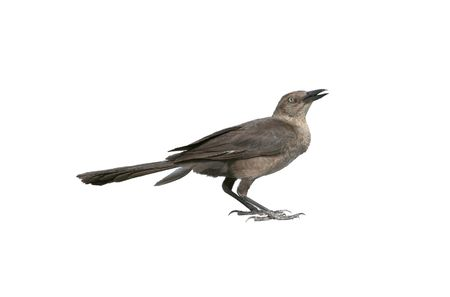 Great-tailed grackle female isolated on white