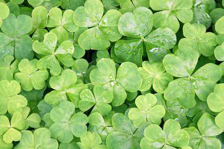 Macro shot of a group of clover leaves Stock Photo - 5034499