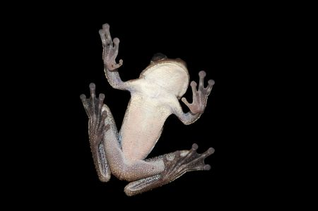 Tree frog shot from the bottom isolated on black Stock Photo - 6755519
