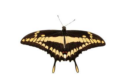 Beautiful giant swallow  tail Butterfly   isolated on white photo