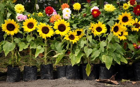Beautiful sunflower plants together with other flowers in a flower sale stand Stock Photo - 8889170