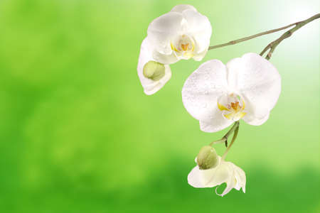 White orchid flowers isolated on a green background  photo