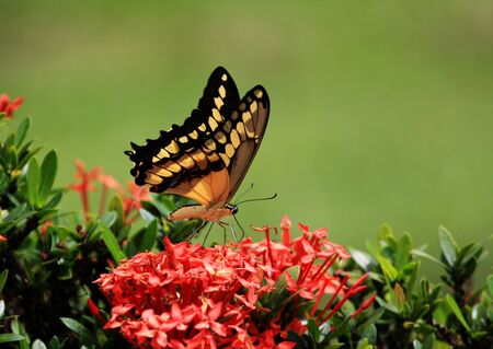 Beautiful giant swallow  tail Butterfly   feeding on some flowers photo