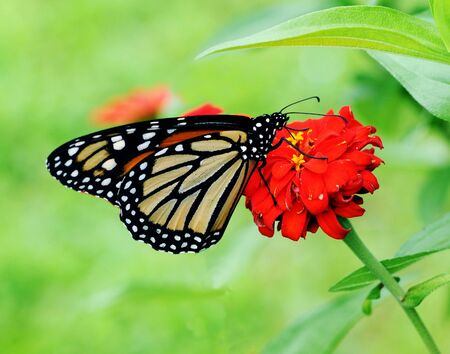 Beautiful Monarch (Danaus plexippus) butterfly posed on a red flower feeding photo