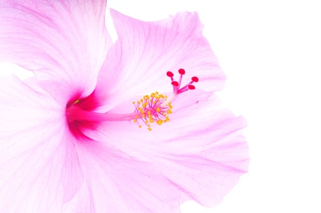 Macro shot of a beautiful pink tropical hibiscus flower