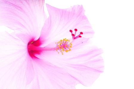 Macro shot of a beautiful pink tropical hibiscus flower