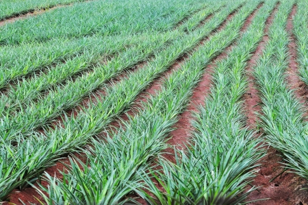 Pineapple field showing the row of plants in the countryside of Panama photo