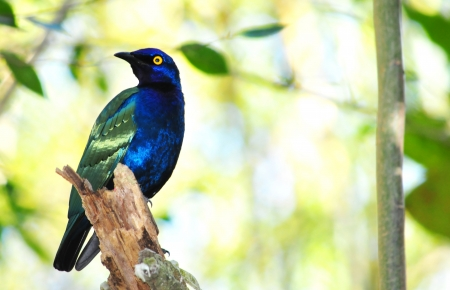 south african birds: Beautiful African Purple Glossy-Starling (Lamprotornis purpureus) perched on a branch Stock Photo