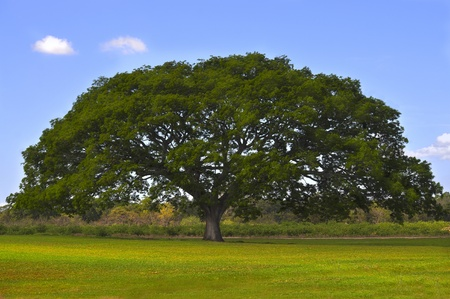 Huge tree in the middle of a green field with a blue sky photo