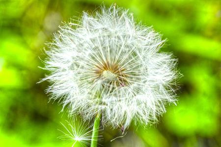macr: Macr shot of a dandelion flower in full bloom