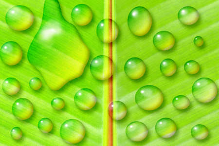 banana leaf: Macro shot of the center of a banana tree leaf with many water drops Stock Photo