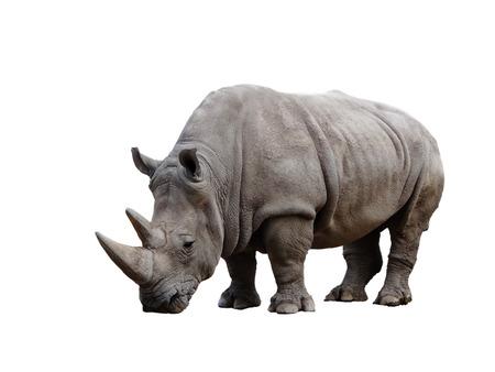 Big afrykański Rhino na białym tle