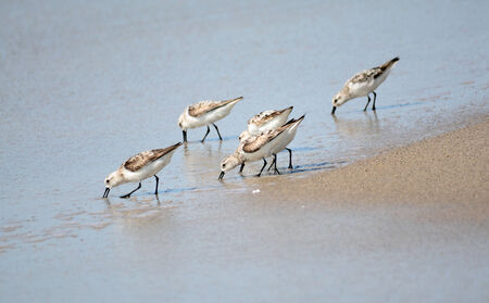 birds scenery: Small flock of Semipalmated Sandpipers feeding at a beach in Panama