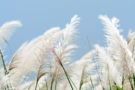 blue sky and fields: Macro shot of tall grass against a blue sky