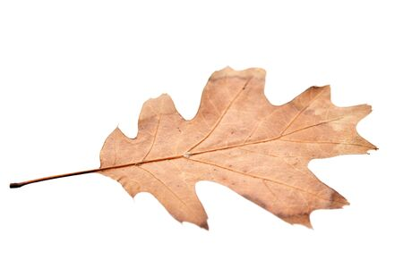 dried up: Small dried up maple leaf on a white background Stock Photo
