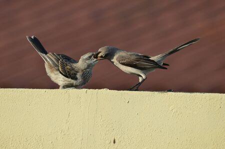 mockingbird: Mother mockingbird feeding a young one Stock Photo