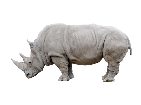 negras africanas: Rinoceronte africano aislado en un fondo blanco