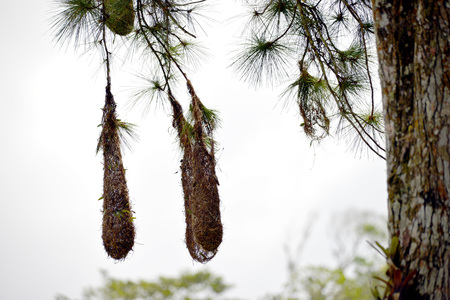 weaver bird nest: Hanging nests from Montezuma Oropendola in the tropics of Panama