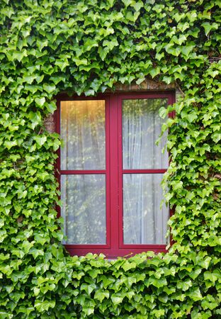 creeper: Close up shot of a window surrounded with green leaves of a creeper vine plant Stock Photo