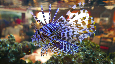 Close up of a Lionfish in an aquarium Stock Photo