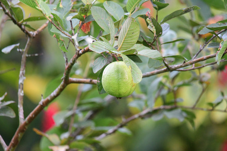 Close up of a guava tree with fruit