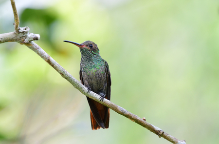 Rufous-tailed Hummingbird perched on a tree branch Stock Photo