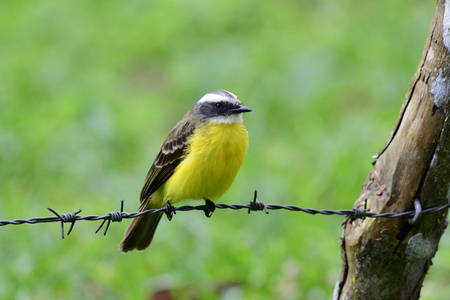 Social Flycatcher perched on a barbed wire line of a fence