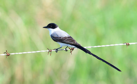 Fork-tailed Flycatcher (Tyrannus savana) perched on a barbwire fence line