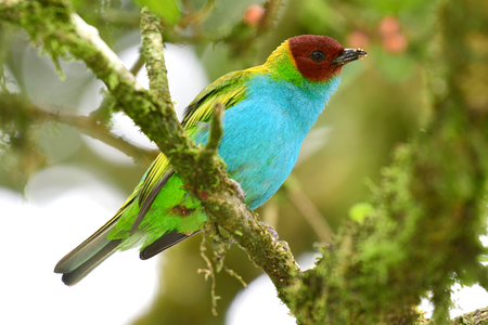 Close up of a Beautiful Bay-headed Tanager (Tangara gyrola) perched on a tree branch