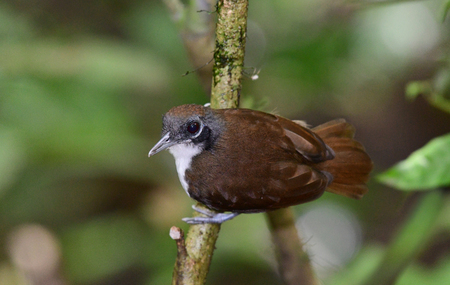 Close up of a Bicolored Antbird perched on a tree branch