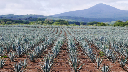 Blue Agave field near the town of Tequila and the Tequila Volcano
