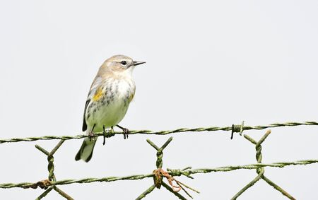 Yellow-rumped warbler male perched on a a chain linked fence