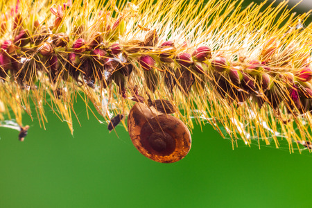 Macro photography  of snails on the foxtail under the backlight