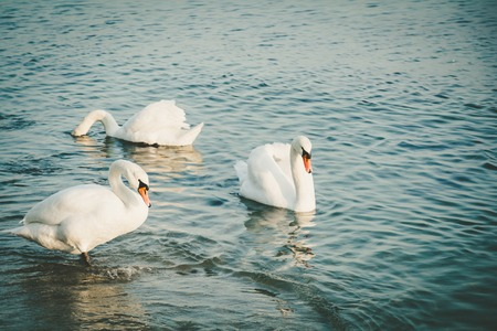swimming swan: Elegant white swans swim in winter sea