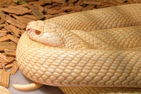 grass snake: Scary snake in the terrarium lie flat