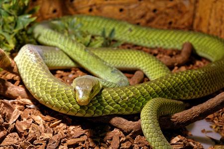 snake bite: Scary snake in the terrarium lie flat